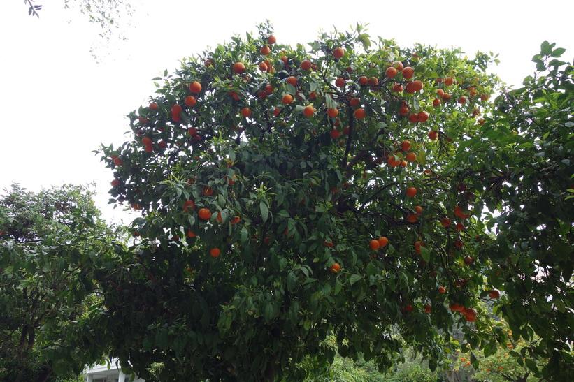 Apelsinträd längs gatan vid presidentpalatset, Aten.