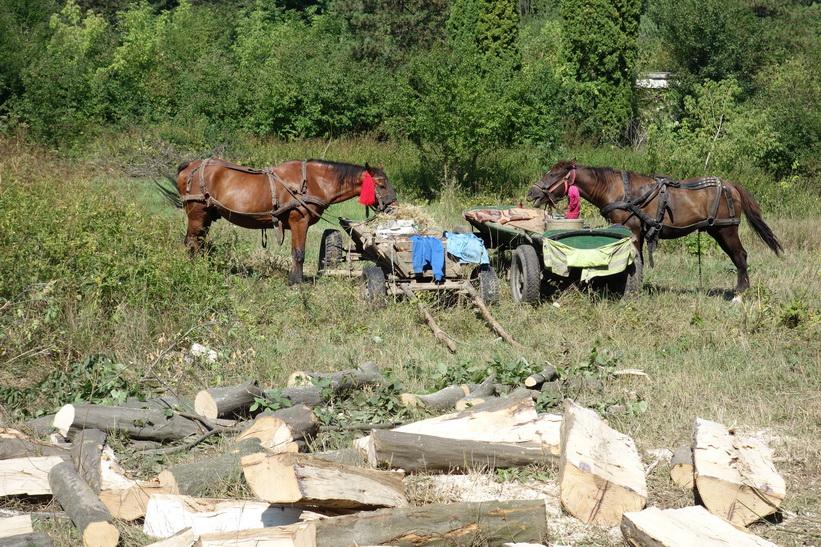 Hästarna används för att frakta kluven ved, Suceava.
