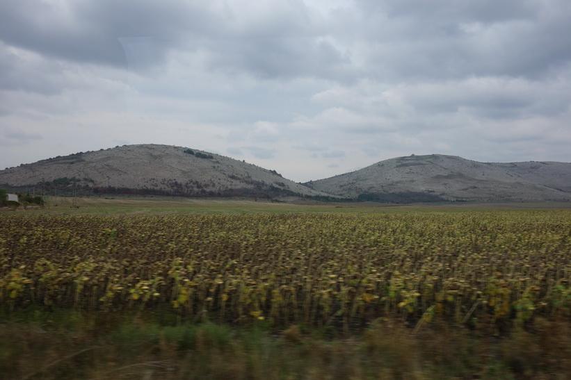 Solrosfält i Bulgarien.