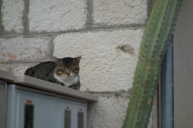 Katt och kaktus i Bol.