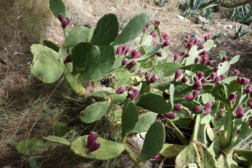 Kaktusväxter i parken Marjan, Split.