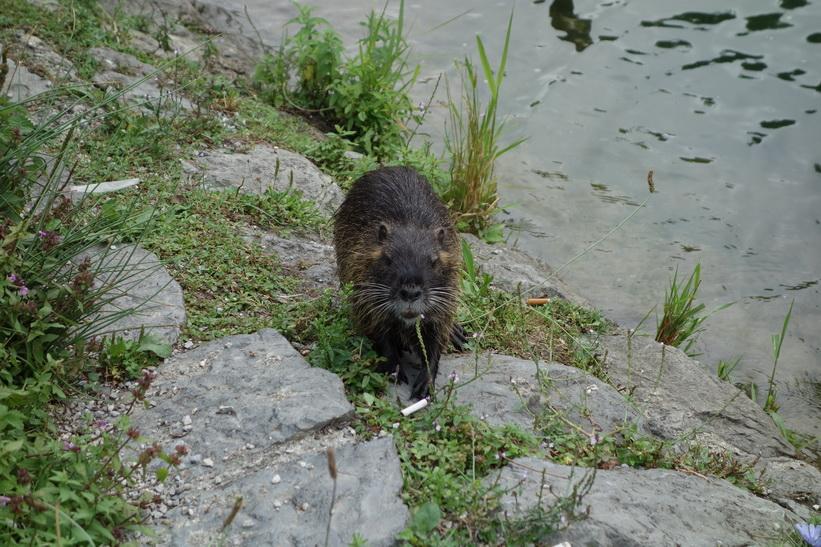 Sumpbäver vid floden Ljubljanica i centrala Ljubljana.