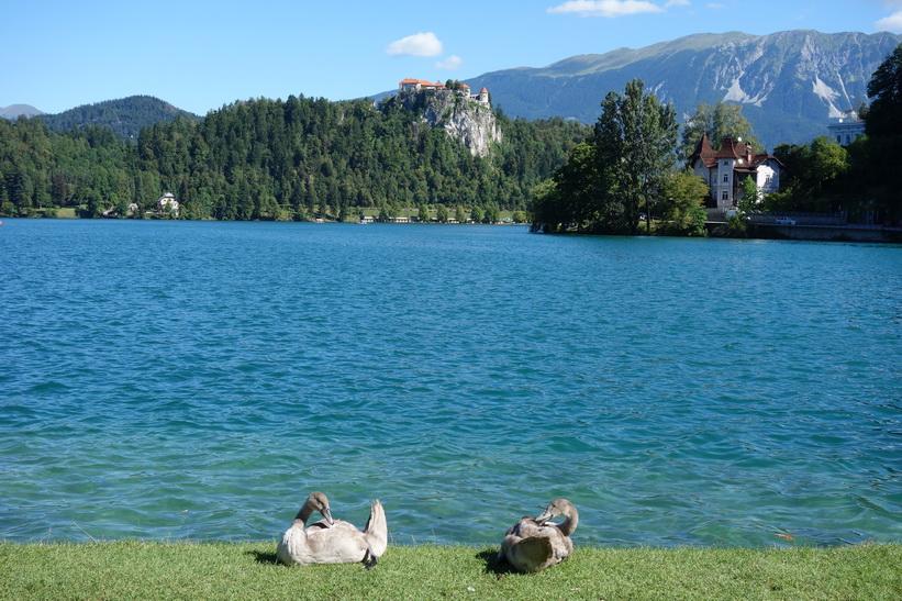Fåglar med Lake bled och Bled castle i bakgrunden.