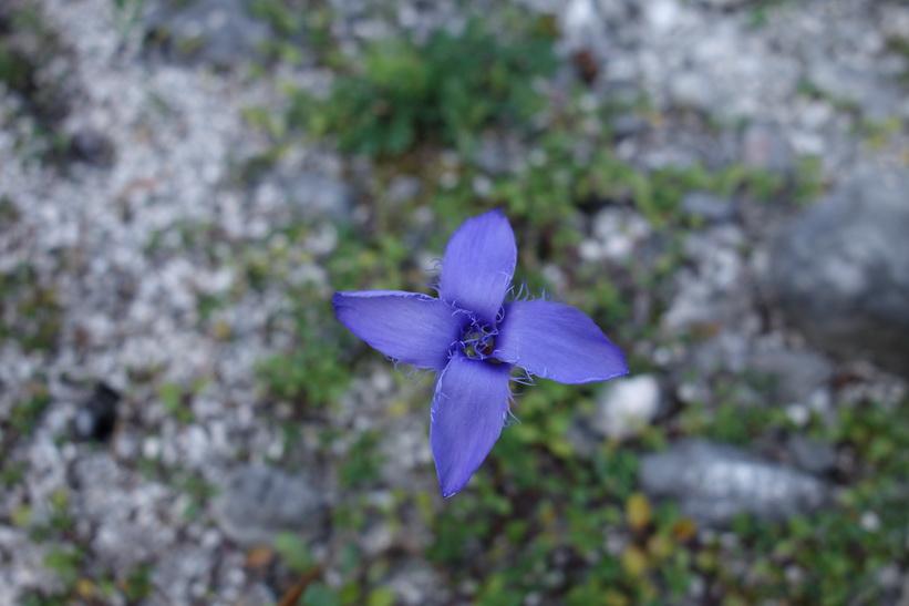 Vacker blomma i närheten av Triglavs norra vägg.
