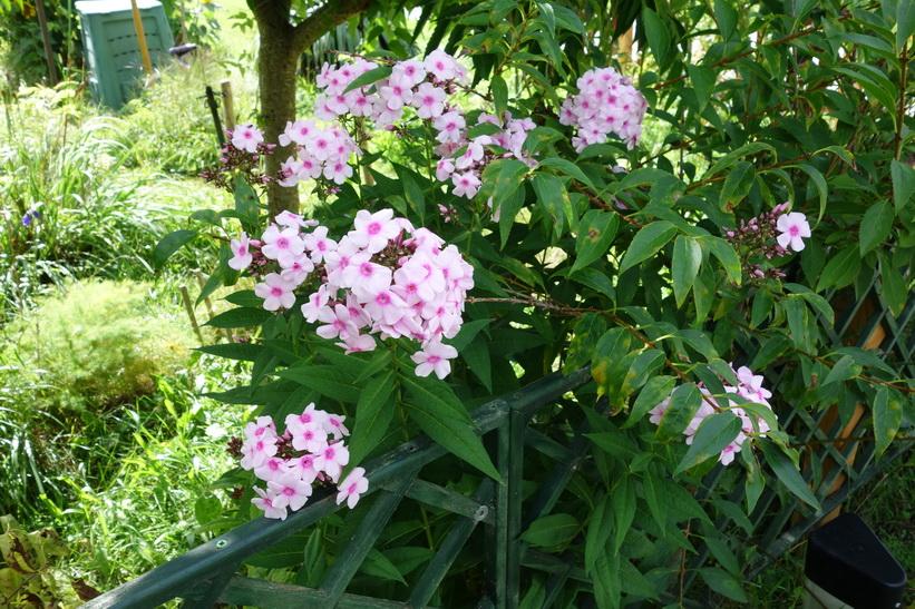 Vackra blommor i Sava-dalen, Radovlica.