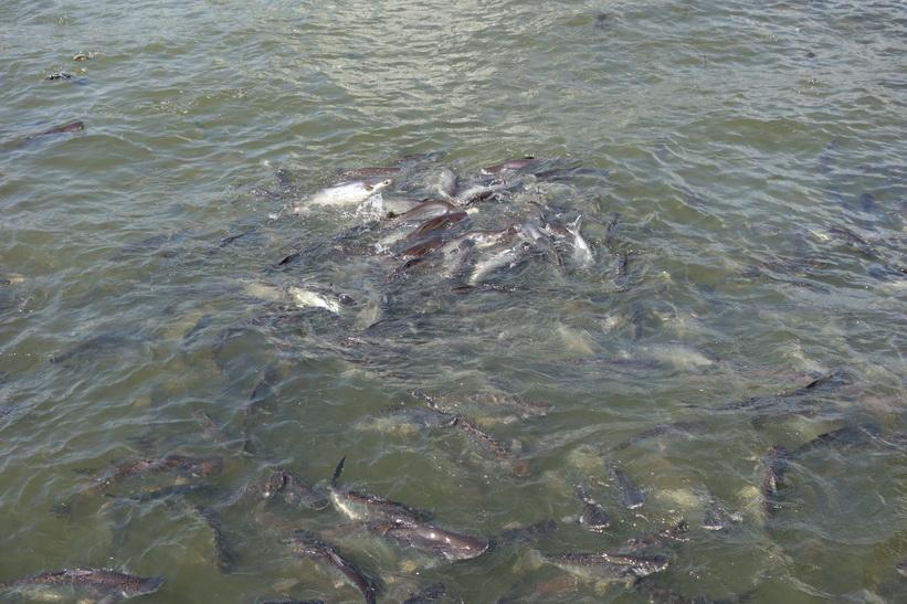 Enorma mängder fisk i Chao Praya-floden vid Mekhala Pier, Bangkok.