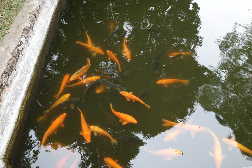 Fisk i dammen i Ho Chi Minh's residence, Ho Chi Minh complex, Hanoi.