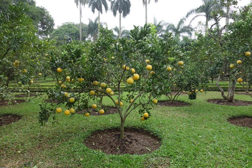 Fruktträd i Ho Chi Minh's residence, Ho Chi Minh complex, Hanoi.