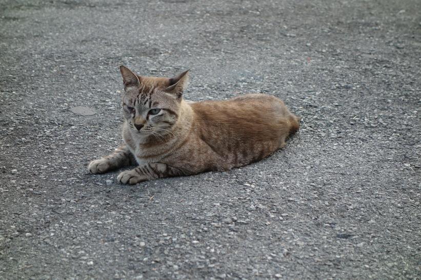 Katt i Lumpini-parken, Bangkok.